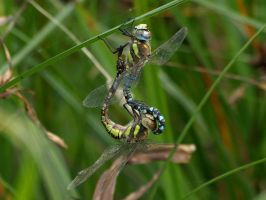 September 19th Southern Hawker 3 by Taliesin-Neonblack