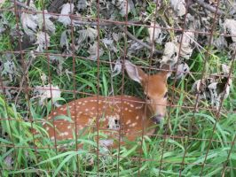 Fawn in Hiding 1 by Windthin