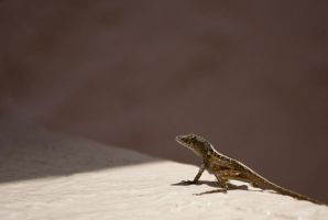 Cuban Anole by SamRickim