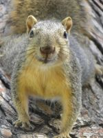 Poser the squirrel by bwall49