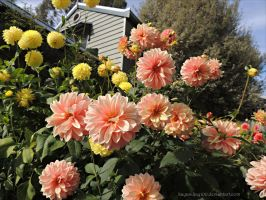 Dahlias in Peach by kayandjay100