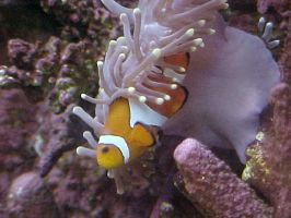 Symbiosis with Clownfish by imerald