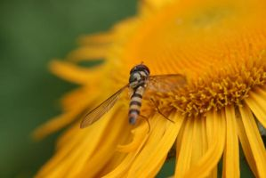 Syrphid by Loiissipoff