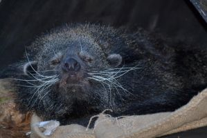 A binturong lazing about... by rbompro1