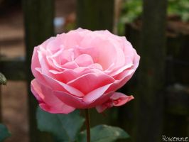 pink rose by risienne