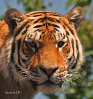 Tiger by Fuppe