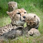 Cheetah Family 104-09-11 by lomoboy