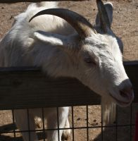 Goat I by Baq-Stock