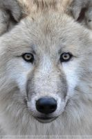 Arctic Wolf (004) - Arctic Beauty by Sikaris