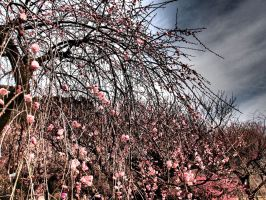 Japanese apricot in Tokyo 703 by hirolu