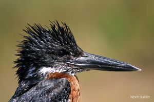 Giant kingfisher portrait by Kbulder