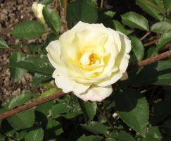 Shrub-rose 'Macy's Pride' 1 by Kattvinge