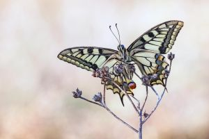 Papilio machaon III by buleria