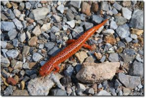 RedSalamander by BlurWing