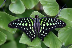 Graphium Agamemnon by doolhoofd