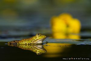 Grenouille by phonalys