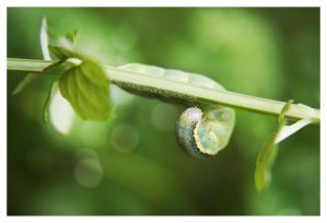 My little Caterpillar | Tomato Moth by OMG-ImSoAwesome