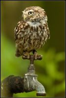 Little Owl... On A Tap by nitsch