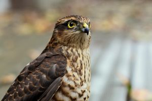 Hamlet the sparrowhawk by Rima-Deer