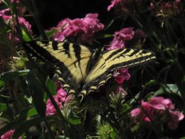 My front yard Butterfly 1 by Fallonkyra