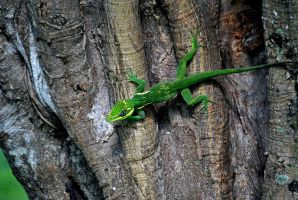 Knight Anole by Anarioxan