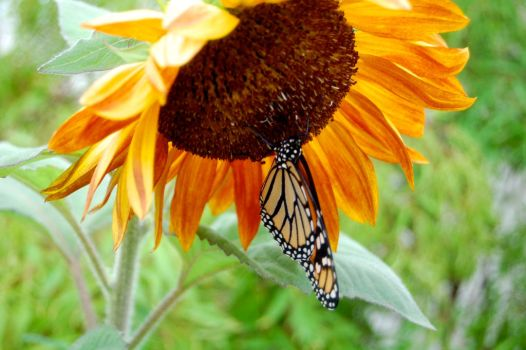 Sunflower Butterfly by KirchyBaby