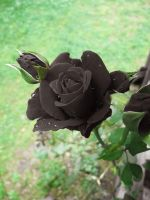 Black Roses V by looking-for-hope