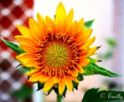 Sunflower 4 by ShamanQueen1994