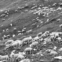 Alpine Sheep by younghappy