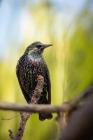 Common Starling by rat-or-rat