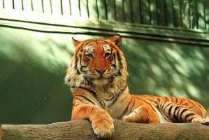 Stock: Tiger at Rest by Celem