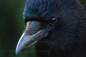 The Crow by Wild-Soul