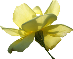 Yellow Rose 01 PNG by Thy-Darkest-Hour
