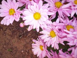 Pink Daisies. by theblueofmyoblivion