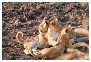 Lion Cubs - 2762 by eight-eight