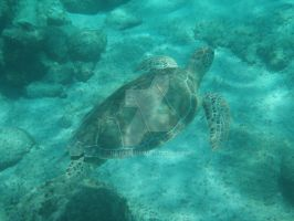 TME Akumal, Mexico: Green Sea Turtle IV by Namyr