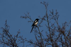 Eurasian Magpie by wuestenbrand