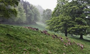 Deer Herd by davidsant