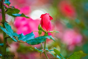 Unbloom Rose by KML032