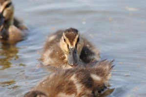 baby duck by AngelicPicture