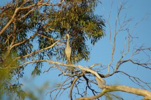 White Faced Heron 2 by FallowpenStock