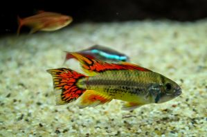 Apistogramma Cacatuoides 'Double Red' by Brandzai