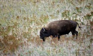 roaming bison by Yair-Leibovich
