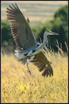 Grey Heron Landing by nitsch