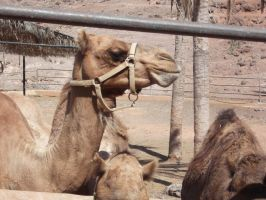 Camel Reference Stock Two by SilverNight1079