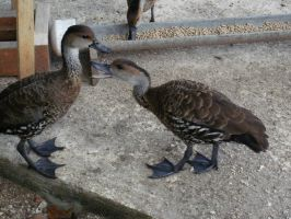 West Indian Whistling Ducks 1 by yodana