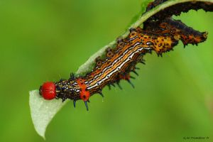 Red Humped Caterpillar I by natureguy