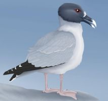 Swallow-tailed Gull by Articuno