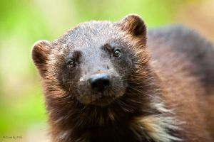 Wolverine by PictureByPali