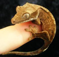 Little Crestie by PaganFireSnake